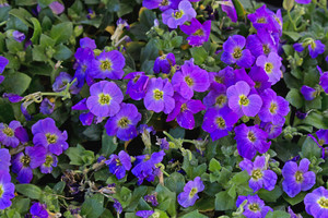 Purple Wildflowers 198