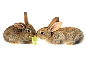Rabbits Eating