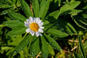 Rainleaf With Flower