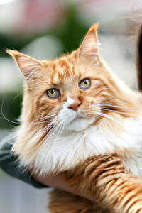 Rare purebred Maine Coon cat close up.  Shallow depth of field.