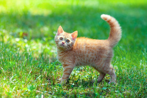 Red british kitten walking on the grass in summer
