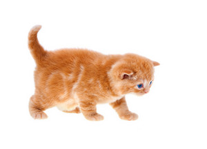 Red British Shorthair kitten isolated on white