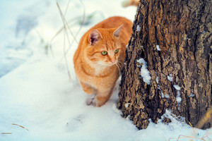 Red cat in snow near tree