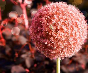 Red Garlic Flower Background