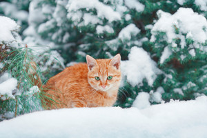 Red-haired cat walking in snow