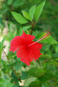 Red Hibiscus Pistilles Flower