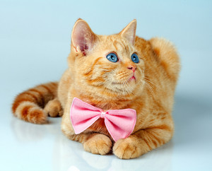 Red kitten wearing bow tie
