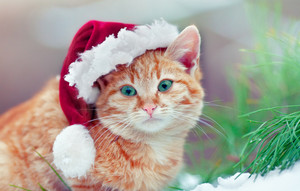 Red kitten wearing Santa hat outdoors