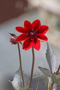 Red Macro Flower
