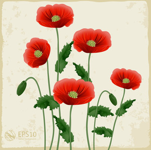 Red Poppies On A White Background. Vector.