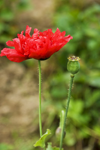Red Poppy And Bee