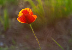 Red poppy flower blooming. Plant close up