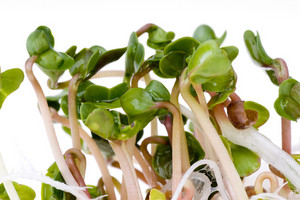 Red Radish Sprouts Closeup