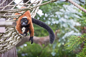 Red Ruffed Lemur On Tree