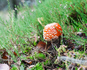 Red toadstool mushroom with green plants in autumnal forest