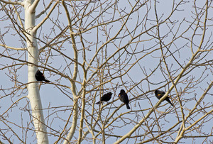 Red Winged Blackbirds In Tree