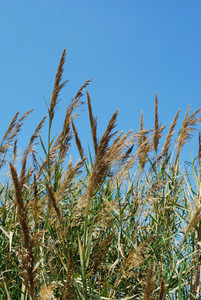 Reed Grass On A Lake