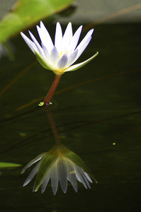 Reflect white lotus on water