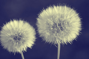 Retro dandelions with seeds