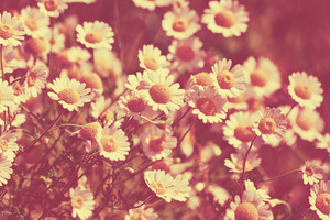 Retro natural background from wilde chamomile flowers