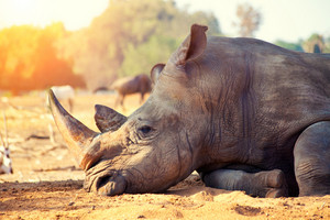 Rhinoceros have a rest in savannah