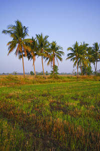 Rice field in early stage at Chiang Mai, Thailand. Coconut tree at background.