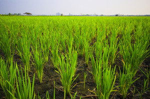 rice in farm with blue sky and cloudy