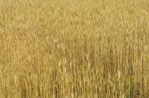 Ripe yellow ears of wheat