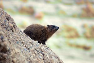 Rock hyrax walking on the stone