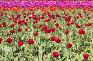 Rose Flowers 202