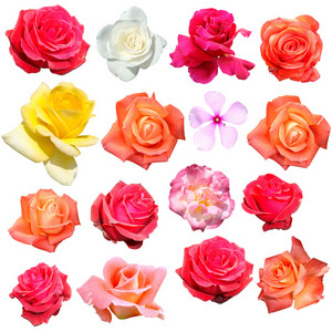 Rose Flowers Isolated