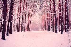 Rose toned pine forest covered with snow