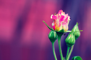 Rosebud on purple background