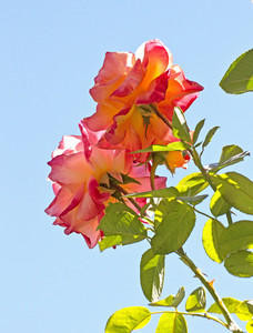 Roses Plant