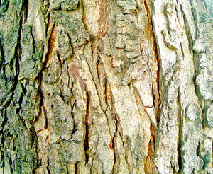 Rough_bark