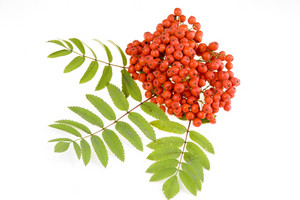 Rowan Red Berry