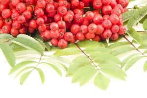 Rowan Red