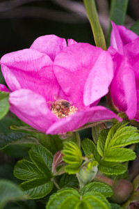 Rugosa rose with a bee inside. These are native to the New England coast in addition to China and Japan. Shallow depth of field with focus on the bee.