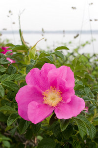Rugosa roses is native to New England in addition to China and Japan.