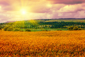 Rural landscape at sunset. Wheat field