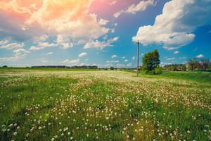Rural landscape in spring. Dandelion meadow
