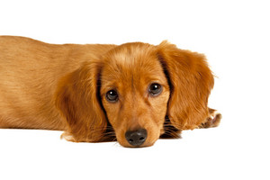 Sad Long-haired Dachshund Puppy
