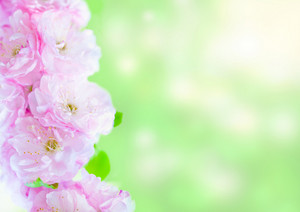 Sakura branch against natural green background