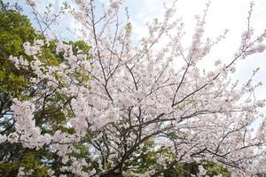 Sakura (Japanese Cherry Blossom)