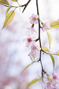 Sakura pink blossom flowers with blur background.