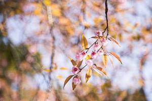 Sakura pink blossom flowers with blur background.