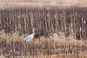 Sand Hill Crane Bird