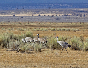 Sand Hill Crane Birds In Field