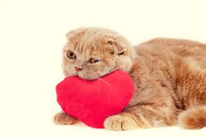 Scottish fold cat hugging red heart-shaped pillow