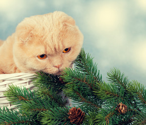 Scottish fold cat in a basket with cristmas tree branch